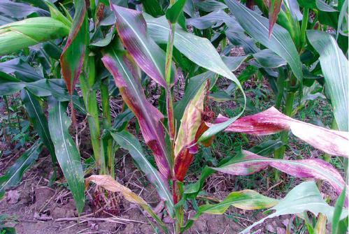 注意了!天冷后茎叶变红频上演,不是单纯补磷那么简单!!!