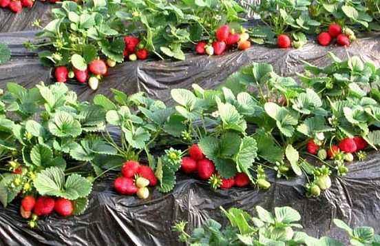 草莓移栽后刚结果,管理要点是什么